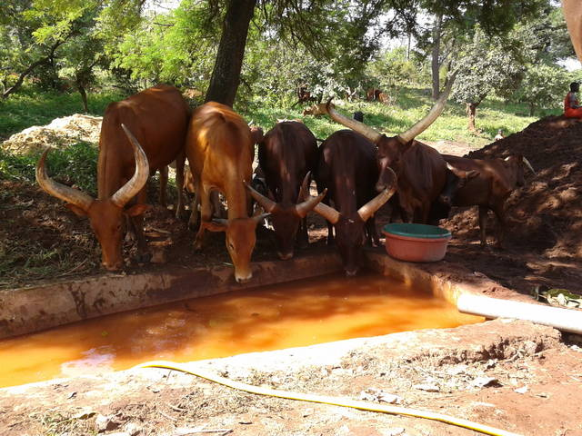Cows drinking water at the gold mining site